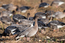 Pink-footed Geese Anser brachyrhynchus feeding in harvested sugar beet field Salthouse North Norfolk November