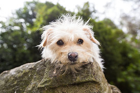 Close-up of scruffy white terrier lying on a rock looking at camera
