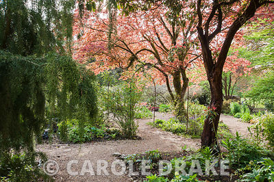 A metal pergola frames the central path through the Flower Garden below a spreading acer and above a mass of tulips. Enys Garden, St Gluvias, Penryn, Cornwall, UK
