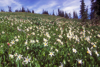Field of Avalanche Lillies along Hurricane Ridge, Olympic Peninsula, Washington.