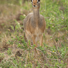 Dik Dik wildlife photos