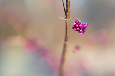 Beautyberry-6230747