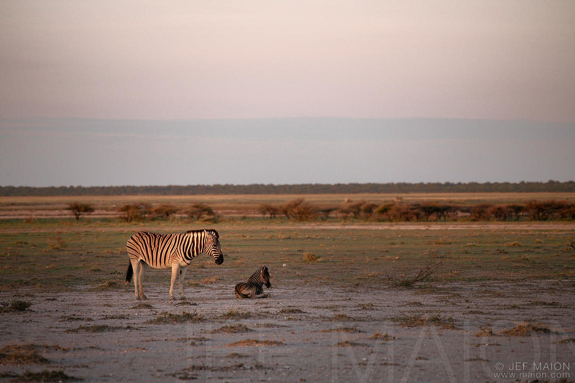 Zebra and foal at sunrise