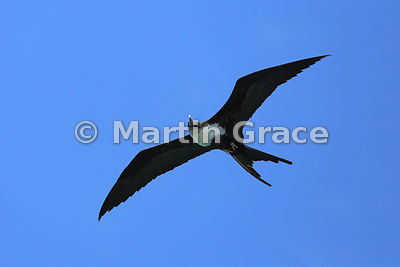 Great Frigatebird female (Fregata minor ridgwayi), Islote Pitt, San Cristobal, Galapagos Islands