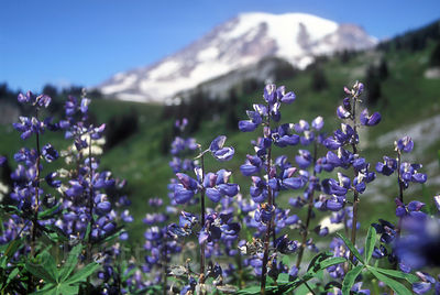 Lupines in Paradise Meadows, Mount Rainier, Washington.
