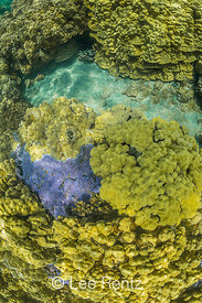 Blue Rice Coral in Kopoho Tide Pools on Hawaii's Big Island