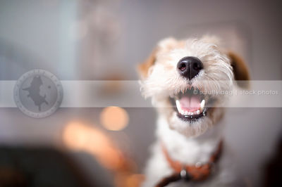 closeup of fox terrier smile and nose