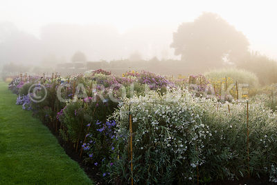 Lines of asters in the stock beds on a misty autumn morning. Waterperry Gardens, Wheatley, Oxfordshire, UK