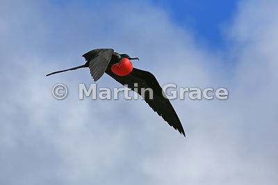 Great Frigatebird male (Fregata minor ridgwayi) flying with inflated gular pouch to attract a mate, Darwin Beach, Genovesa, Galapagos Islands