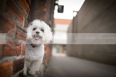 happy white groomed dog smiling at camera from brick wall