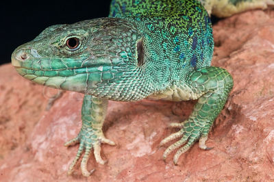 Jeweled lizard / Timon lepidus photos