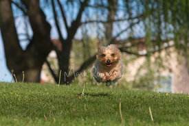 Yorkshire Terrier Dog in Air While Running Over Grass