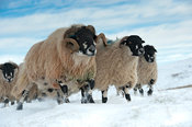 Flock of Dalesbred sheep on snowy moorland near Penyghent, North Yorkshire.