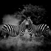 6583-Two_zebras_South_Africa_2004_Laurent_Baheux
