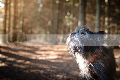 wirehaired terrier dog barking in pine forest