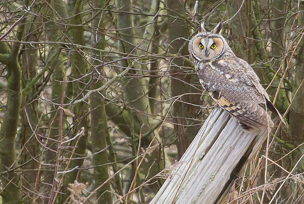 Long-eared Owls photos
