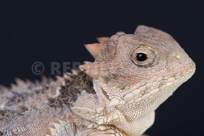 Mexican plateau horned lizard / Phrynosoma orbiculare photos