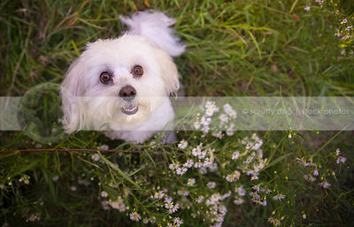 cute expressive little dog with teeth looking upward from flowers