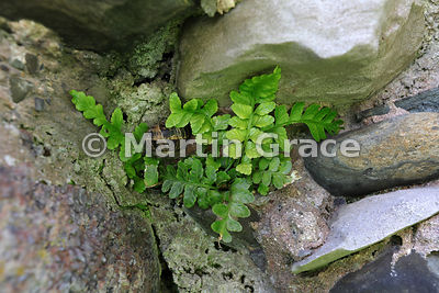 Sea Spleenwort (Asplenium marinum) growing on the walls of Piel Castle, Piel Island, Cumbria