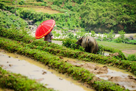Hmong Girl with Red Umbrella Overlooking Buffalo in Green Rice Paddies