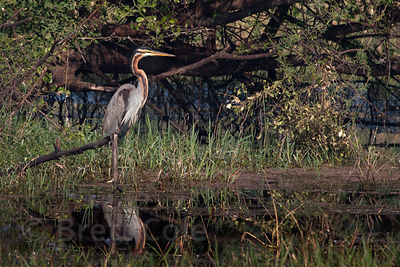 Purple Heron (Ardea purpurea), Keoladeo National Park, Bharatpur, India