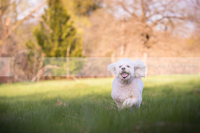 groomed little white mixed breed dog running in field