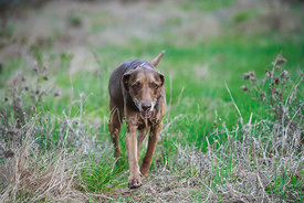 Smiling Brown Weimaraner Labrador Mix Dog Walking in Tall Grass