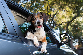 Beagle in car window