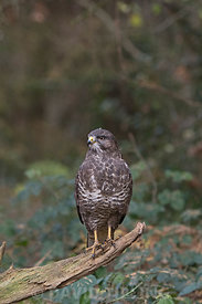 Common Buzzard Buteo buteo  in woodland Norfolk autumn