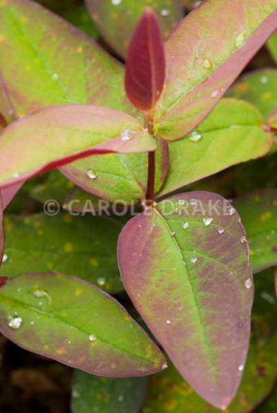 New foliage of Hypericum androsaemum 'Albury Purple'. Caervallack Farm, St Martin, Helston, Cornwall, UK