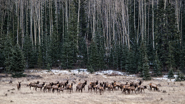 Elk Herd Victor, Colorado