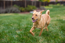 Brown Dog Running On Grass