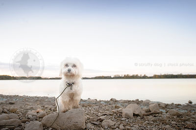 little white groomed havanese dog standing on beach