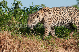 jaguar_riverbank_stroll-07