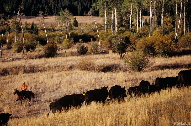 Cattle drive, white trees