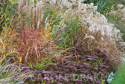 Beds in the Dragon garden include many varieties of miscanthus, other grasses and perennials such as here Sedum matrona and sanguisorba. Knoll Gardens, nr Wimborne, Dorset, UK