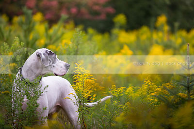 big harlequin great dane dog standing in meadow of goldenrod