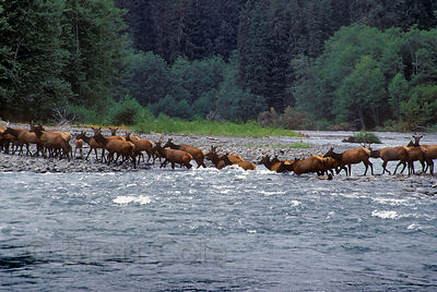 A herd of Roosevelt elk (Cervus canadensis roosevelti) crossing the wild, remote  Queets River in Olympic National Park, Washington