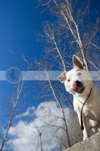 low angle photo of white jack russell against blue sky licking lips