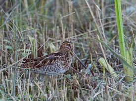 Common Snipe Gallinago gallinago Cley Norfolk autumn