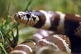 Lampropeltis californae Ennery Val d'Oise 05/99