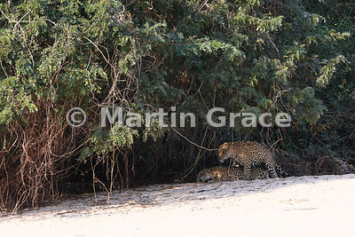Female Jaguar 'Hunter' and male 'Hero' (Panthera onca) mate, Three Brothers River, North Pantanal, Mato Grosso, Brazil. Image 11 of 62; elapsed time 10mins