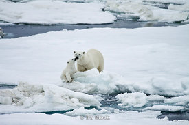 A polar bear cub interacts with it's mother near Svalbard, Norway.