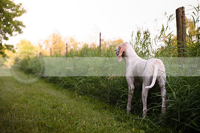 large white hound from behind standing on grass path by fence