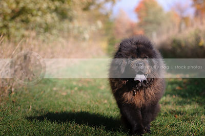 shaggy black chow dog coming in grass