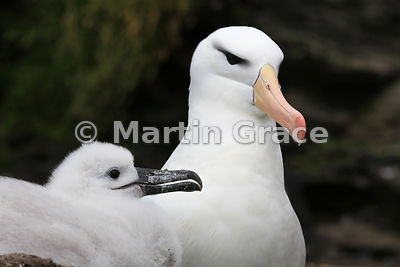 Black-Browed Albatross (Thalassarche melanophrys) nestling with one of its parents, The Rookery, Saunders Island