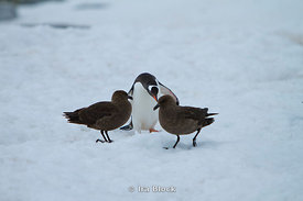 A gentoo penguin and skuas on ice around Petermann Island.