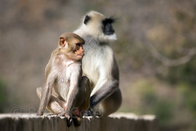 Langur monkey and adopted red macaque juvenile, a rarity, Ajaypal, Rajasthan, India