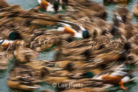 Northern Shoveler Ducks Funneling Food to Surface by Swimming in a Tight Circle