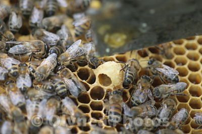 European honeybee Apis Mellifera